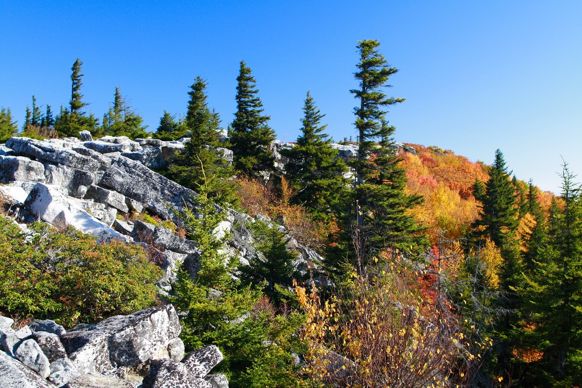 Picea_rubens_Bear_Rock