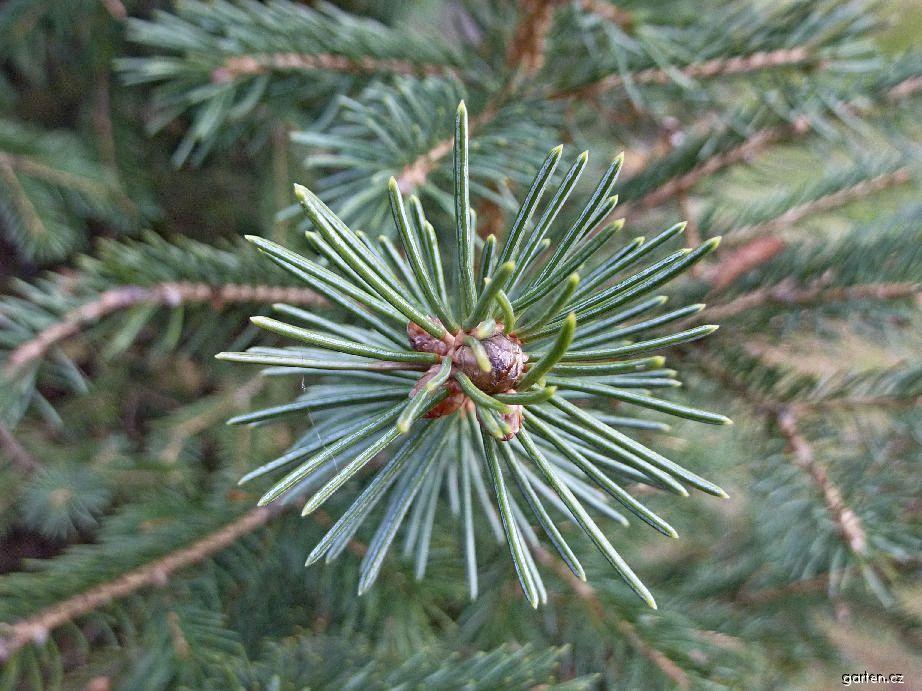 Picea_schrenkiana_2