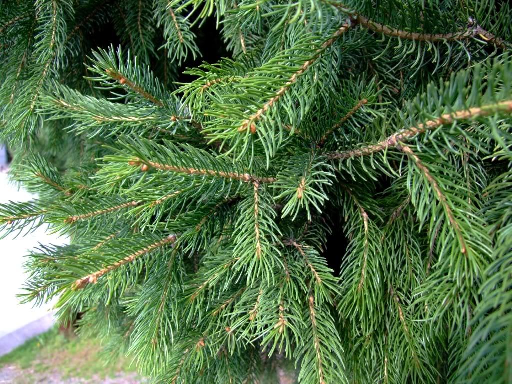 Picea_schrenkiana_7