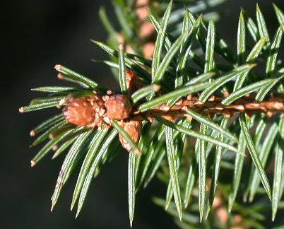 Picea_sitchensis_1