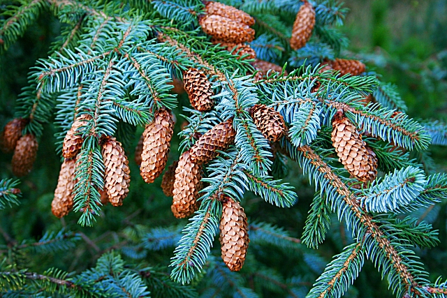 Picea_sitchensis_3