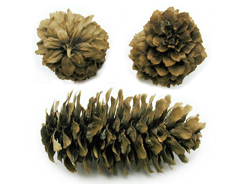 Picea_sitchensis_5