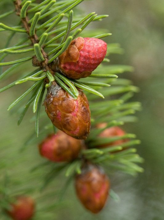Picea_sitchensis_7