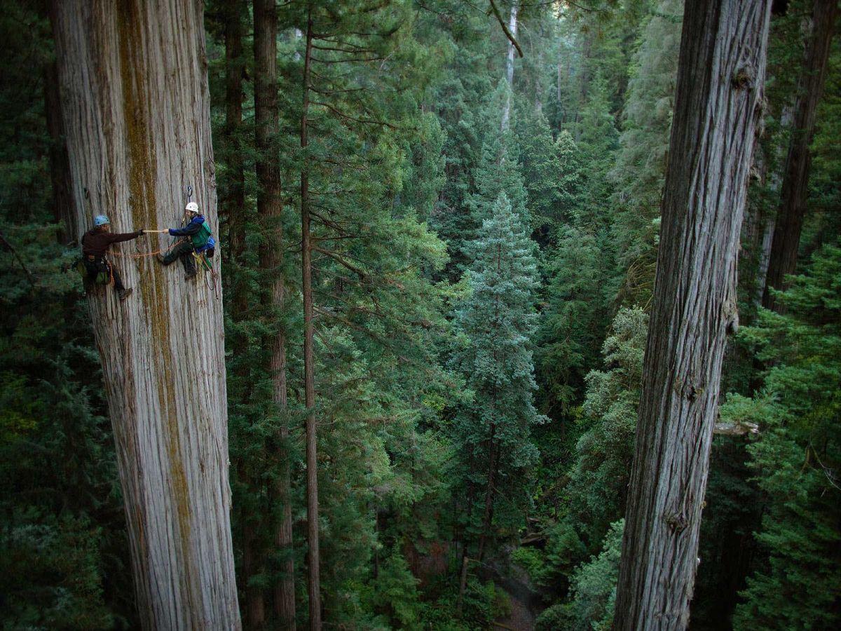 Sequoia_sempervirens_1