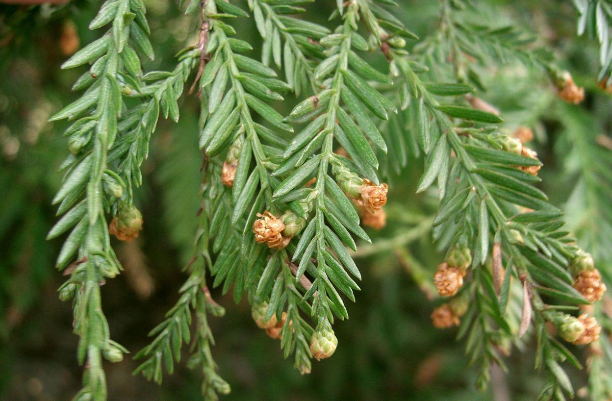 Sequoia_sempervirens_13