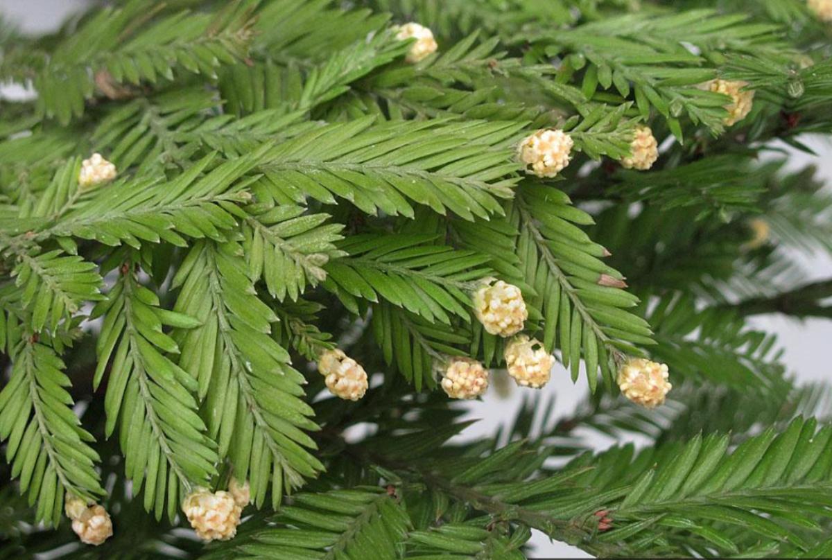 Sequoia_sempervirens_14