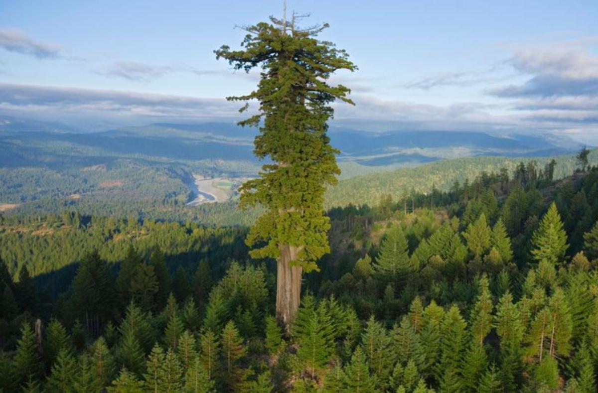 Sequoia_sempervirens_15