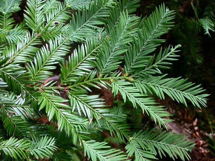 Sequoia_sempervirens_2