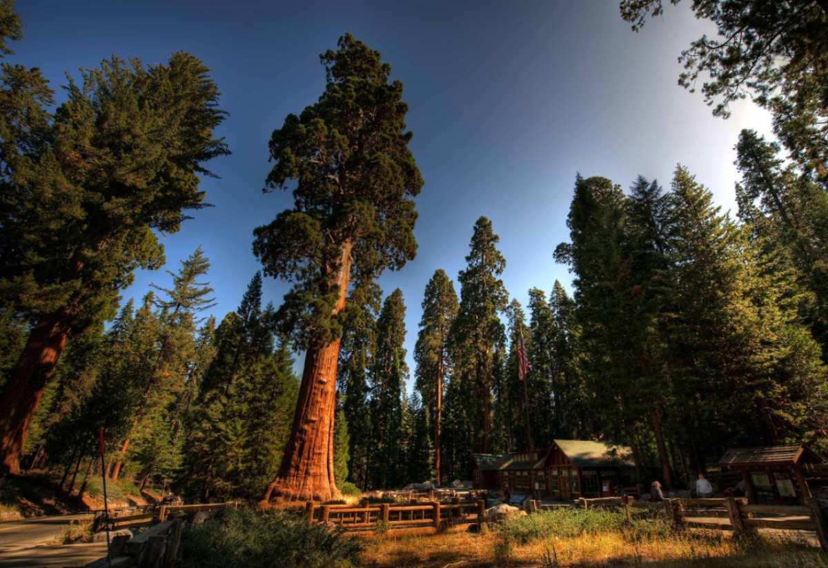 Sequoia_sempervirens_6