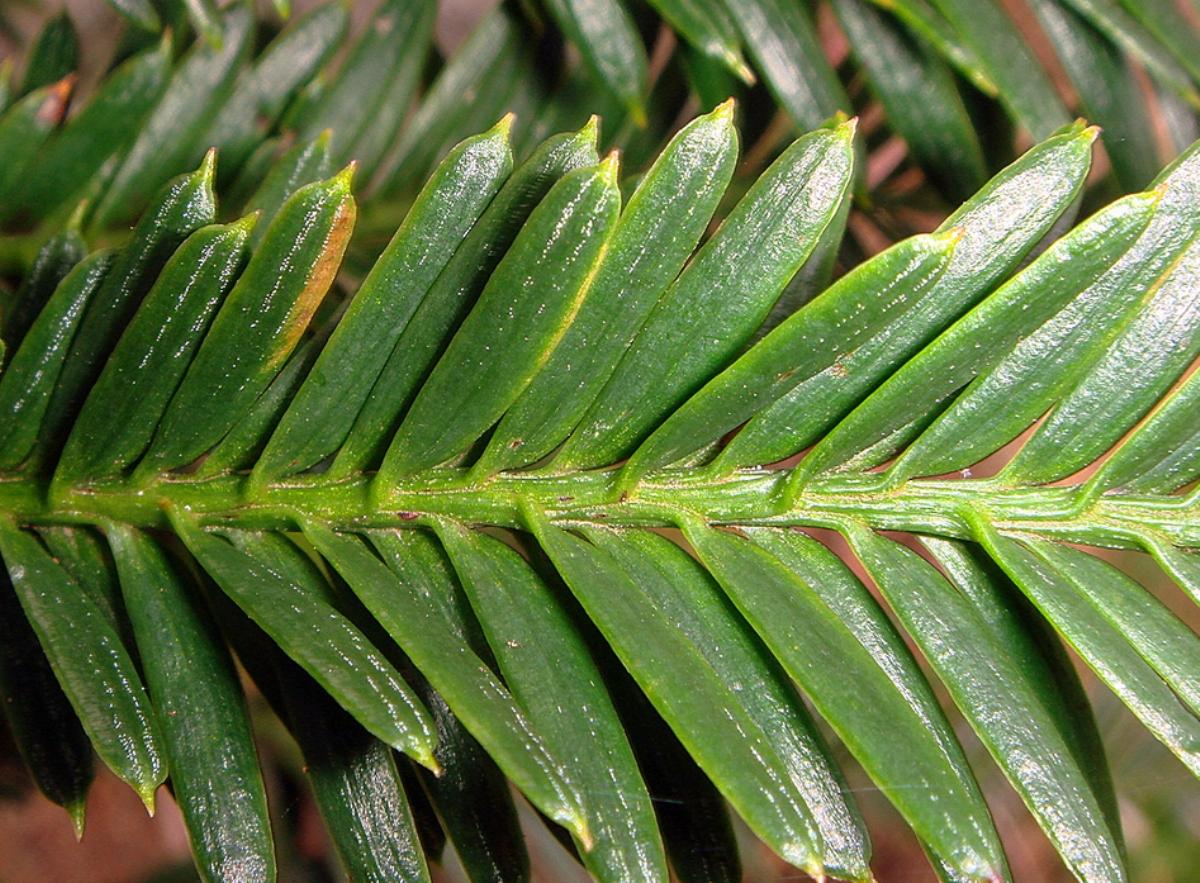 Sequoia_sempervirens_7