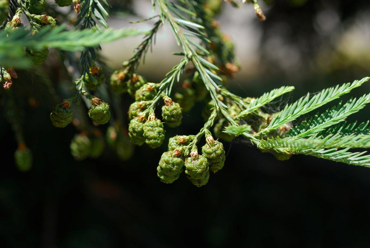 Sequoia_sempervirens_9