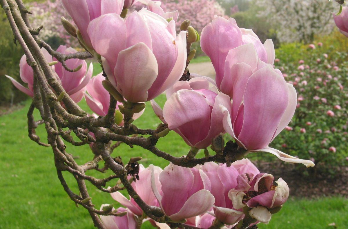 magnolia_soulangeana_alexandrina